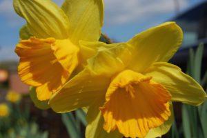 Narzissen als Gartenblumen