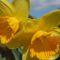 Narzissen als Gartenblumen verwenden?